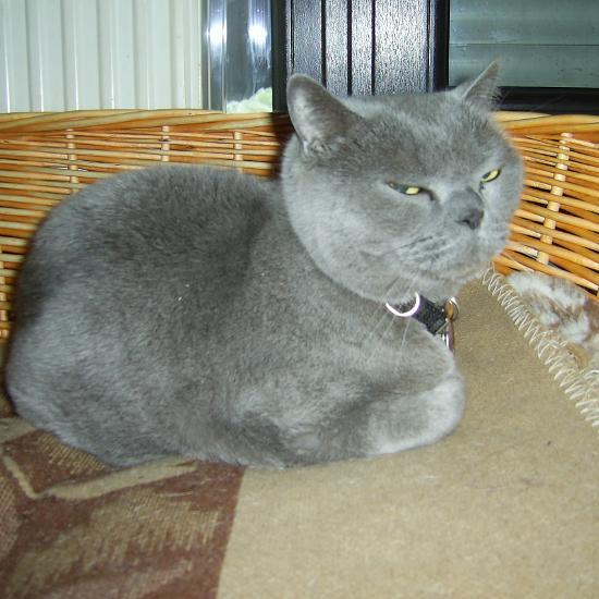 Kater namens Shorty (British Shorthair) in einem Hundekorb